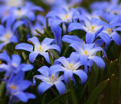 Chionodoxa Luciliae 25 Bulbs Spring Flowers Ready To Dispatch Free P&p