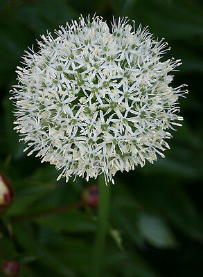 Allium Mount Everest 3 Bulbs Summer Flowering Ready To Dispatch Free P&p