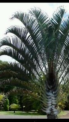Dypsis decarrii triangle palm seedlings 50
