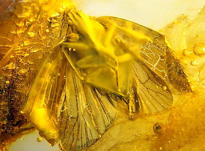 Fossil Cicada In Baltic Amber 45-55 Millions Years Old(3786 )