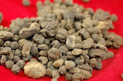Lot Of Ten Baby Phacops Trilobite From Morocco