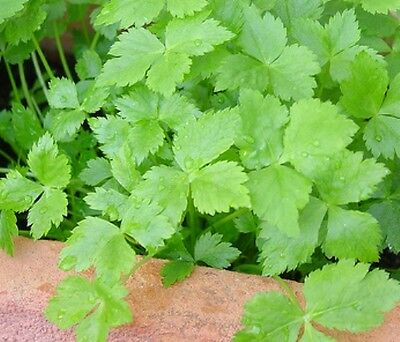 JAPANESE PARSLEY / MITSUBA 100+ seeds culinary herb garden PERENNIAL traditional