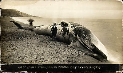 Whale Bay, Isle of Wight near Chale. 49 Foot Whale Stranded 16.5.1924.