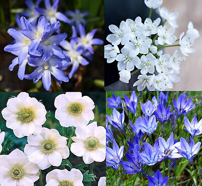 100 Spring & Summer Flower Bulbs The Blue & White Collection Ready To Ship Fp&p
