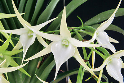 ORCHID ANGRAECUM VEITCHII - A beautiful exotic orchid from Eastern Africa
