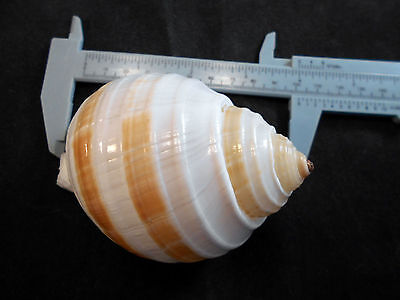 Beautiful Tonna Sulcosa Shell Banded Tun  Shell Hermit Crab Beach Nautical Deco