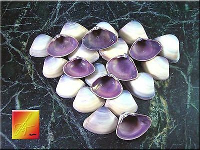 "Lot of 100 Purple Baby Clam Shells Seashells (1/2-3/4"") Sea Shell Crafts Beach."