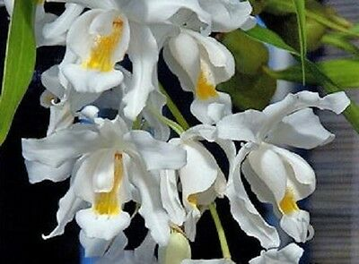 ORCHID COELOGYNE CRISTATA - Species white golden yellow pendant epiphyte