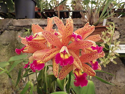 """ORCHID L.C TROPICAL POINTER """"Galaxy""""  Maturing plants of this rare hybrid,"""