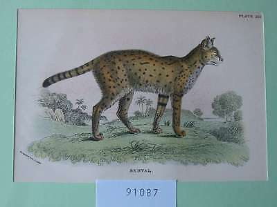 91087-Raubkatze-Cat-Serval-Lithographie-Lithography-1894