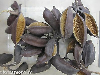 35 Xxl Natural Brachychiton Bottle Tree Seed Pods For Art / Craft / Decorate