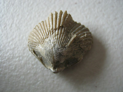 Fossil -  Bivalve Shell - from UK found Late1860s    (A13)