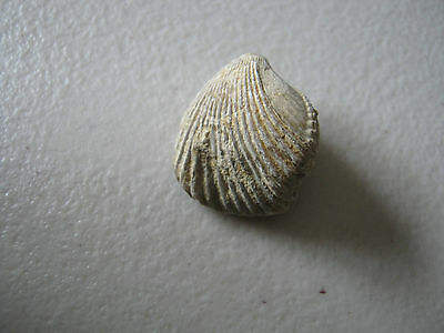 Fossil -  Bivalve Shell - from UK found Late1860s    (A18)
