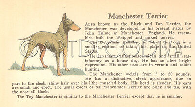VTG 1938 Manchester Terrier & MINIATURE SCHNAUZER Dog Breed Book Plate Art Page