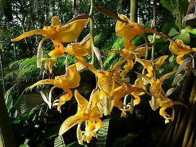 ORCHID STANHOPEA JENISCHIANA - Large pendant flowers Strongly scented.