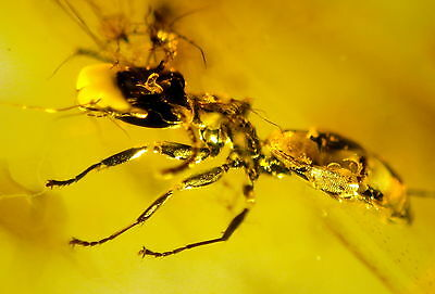 Fossil Ant In Baltic Amber 45-55 Millions Years Old(5956 )
