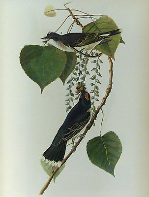 ANTIQUE 1937 AUDUBON PRINT - No. 79 KINGFISHER FREE SHIPPING