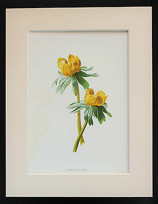 Yellow Winter Aconite - Mounted Antique Botanical Flower Print 1880s by Hulme