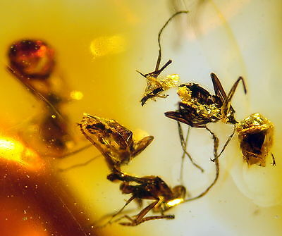 3 Fossil Ants In Baltic Amber 45-55 Millions Years Old(6041 )