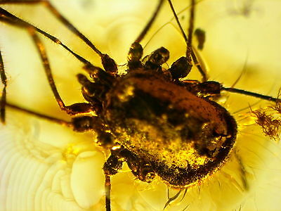 Fossil Harvestmen In Baltic Amber 45-55 Millions Years Old(5931 )