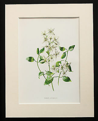 White Clematis - Mounted Antique Botanical Flower Print 1880s by Hulme