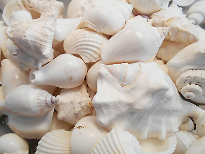 2 lbs Large White Wedding Shell Mix Seashells Beach Cottage Decor Nautical BULK.