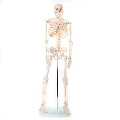 66fit™ Human Skeleton Model on Stand 85cm - Medical Educational Training Aid