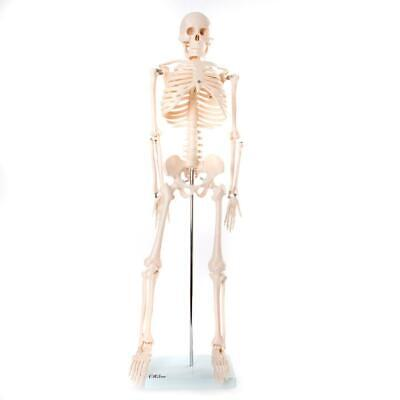 66fit Human Skeleton Model on Stand 85cm - Medical Educational Training Aid