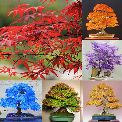 Lots 20pcs Japanese Maple Tree Bonsai Seeds Acer Palmatum Maple Plant Seeds