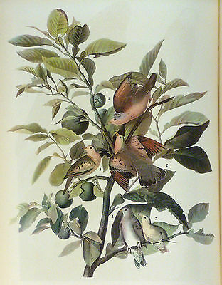 ANTIQUE  1937 AUDUBON PRINT - No. 182 GROUND DOVE FREE SHIPPING