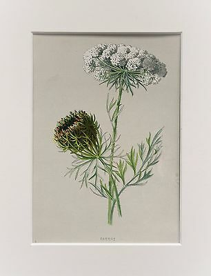 Wild Carrot - Mounted Antique Botanical Wild Flower Print 1880s by Hulme
