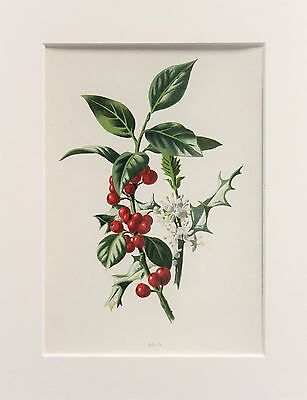 Holly Berries - Mounted Antique Botanical Wild Flower Print 1880s by Hulme