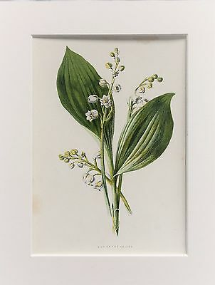 Lily of the Valley - Mounted Antique Botanical Wild Flower Print 1880s by Hulme