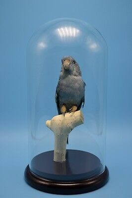 taxidermy of blue parrot mounted inglass dome free P&P special gift D#