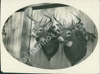 Aex-002 Vintage Photo- Deer Heads Mounted On Wall