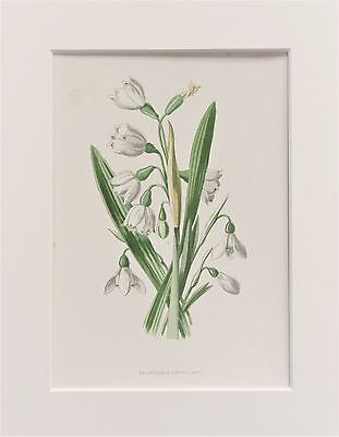 White Snowdrop - Mounted Antique Botanical Wild Flower Print 1880s by Hulme