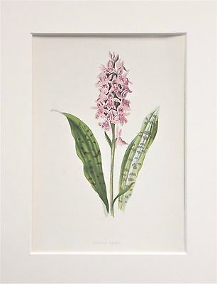 Pink Spotted Orchid - Mounted Antique Botanical Wild Flower Print 1880s by Hulme