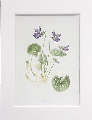 Sweet Violet - Mounted Antique Botanical Wild Flower Print 1880s by Hulme