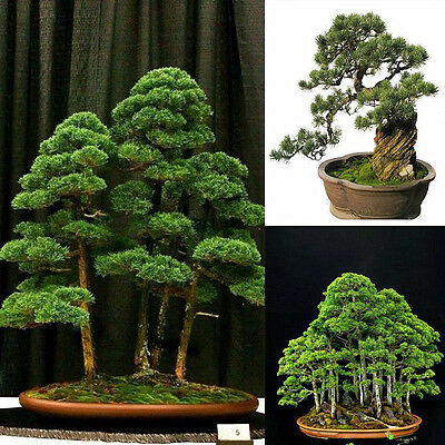 20pcs Japanese White Pine Pinus Parviflora Tree Seeds Green Plant Bonsai Seeds
