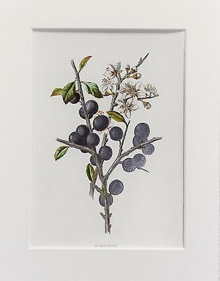 Blackthorn - Mounted Antique Botanical Flower Print 1880s by Hulme