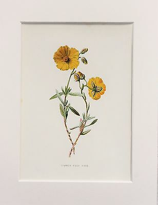 Yellow Rock Rose - Mounted Antique Botanical Flower Print 1880s by Hulme