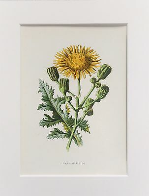 Yellow Corn Sowthistle - Mounted Antique Botanical Flower Print 1880s by Hulme