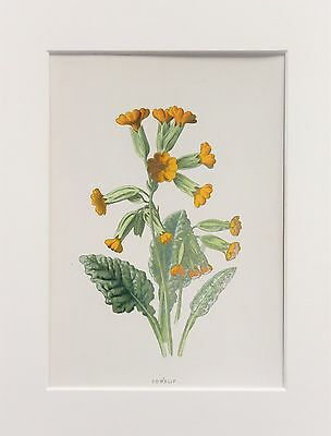 Yellow Cowslip - Mounted Antique Botanical Flower Print 1880s by Hulme