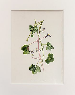 Ivy Leaved Toadflax - Mounted Antique Botanical Wild Flower Print 1880s by Hulme