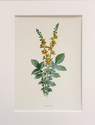 Yellow Agrimony - Mounted Antique Botanical Wild Flower Print 1880s by Hulme