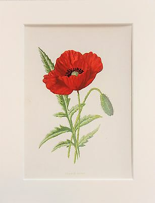 Red Poppy - Mounted Antique Botanical Wild Flower Print 1880s by Hulme
