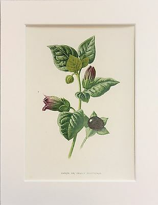 Deadly Nightshade - Mounted Antique Botanical Wild Flower Print 1880s by Hulme