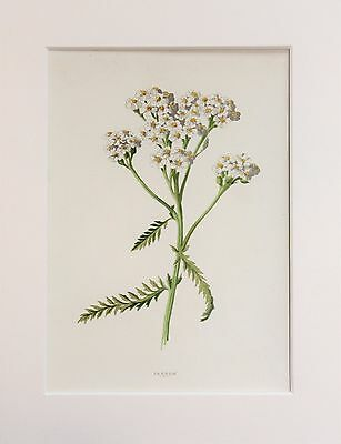 White Yarrow - Mounted Antique Botanical Wild Flower Print 1880s by Hulme