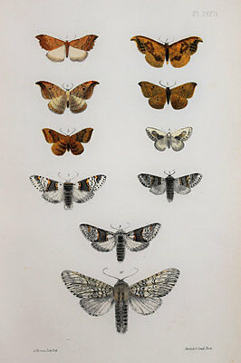 Antique Victorian Moth Print by Rev. Morris, Hand Coloured Engraving (ref 36)