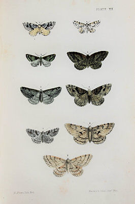 Antique Victorian Moth Print by Rev. Morris, Hand Coloured Engraving (ref 20)